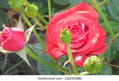 Sun reflection in water drops on blooming red rose flowers close up. Wet, after raining, fresh morning dew banner natural background.