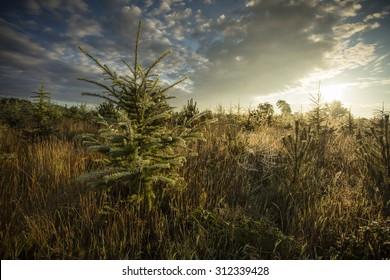 Sun rise in a conifer plantation
