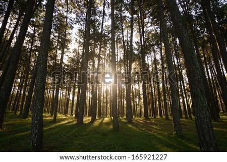 Sun Rise At Pine Tree Garden,Bo Kaeo Pine Tree Garden,Mae Hong Son