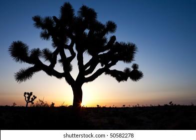 Sun rises behind Joshua Tree.