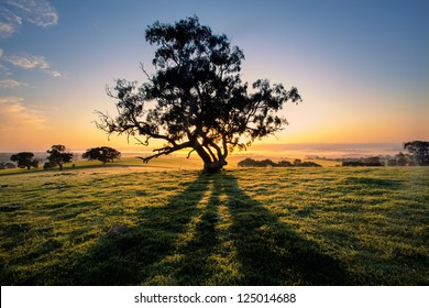 The sun rises behind a tree in the Clare Valley, South Australia
