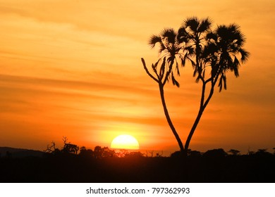 Sun rising behind doum palm, Samburu Game Reserve, Kenya