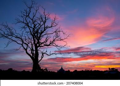 Sun set behind an Thailand gum tree