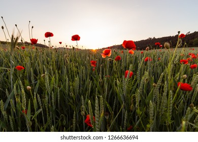 The sun is setting, the foreground is a field of poppies