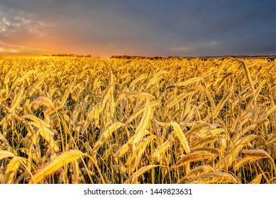 The Sun setting on a field of Barley in the countryside, Jutland, Denmark.