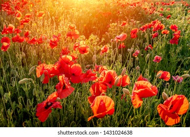 The Sun setting on a field of poppies in the countryside, Jutland, Denmark.