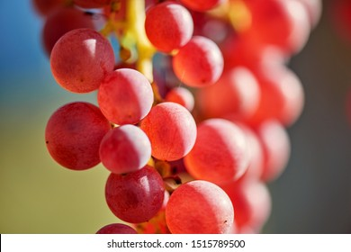 Sun setting on Red grapes - close up of a bunch of grapes, background.  Vineyards at sunset in autumn harvest. Ripe grapes in fall.