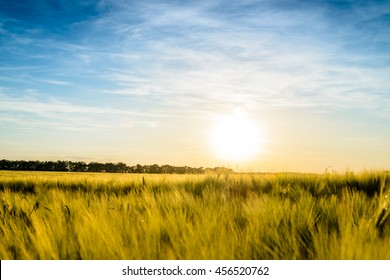 Sun setting over a field of ripening wheat with a low angle view across the crop of a fiery sun sinking towards the horizon in a hazy blue sky