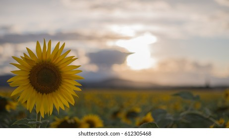 sun setting over sunflowers in the last summer afternoon