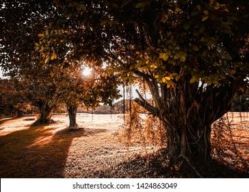 Sun setting in a public park, sun rays shadowing three Balete trees