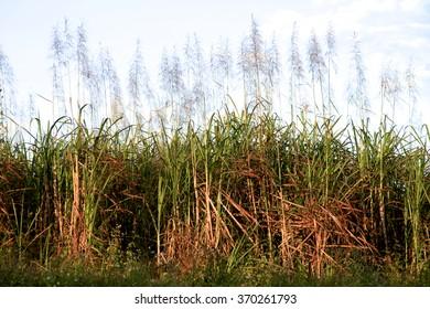 Sun setting upon a crop of sugar cane, North Queensland, Australia