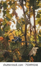 The sun shines on a cluster of red wine grapes growing in a vineyard.