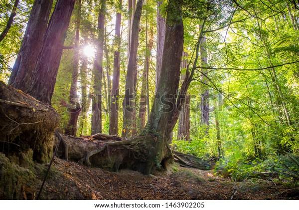 Sun shines through forest trees, Otago, New Zealand