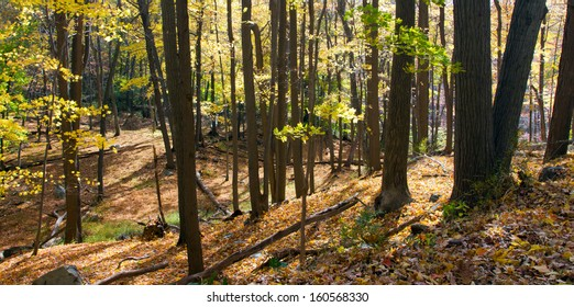 Sun shines through the golden fall leaves of a forest in New York