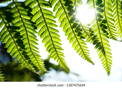 The sun shines through the green leaf of the fern