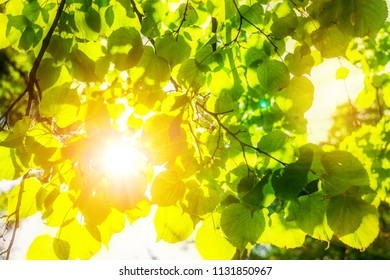 The sun shines through green leaves of the trees. The natural background.