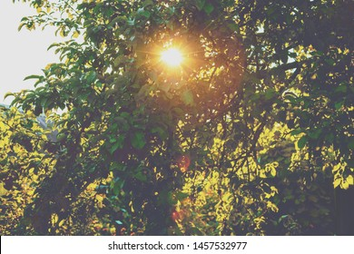The sun shines through the leaves of the trees. Orchard in sunset light. Apple tree in summer. Nature landscape background.
