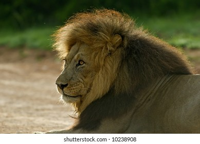 Lion Attitude Images, Stock Photos & Vectors | Shutterstock