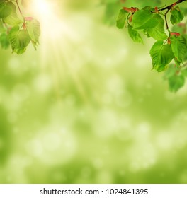 The sun shines in the young foliage of the linden tree. Nature background. Spring. Summer. Flowering linden, close-up.