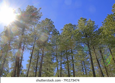 Sun shining and a blue sky looking up at beautiful, mature mountain pine tree forest