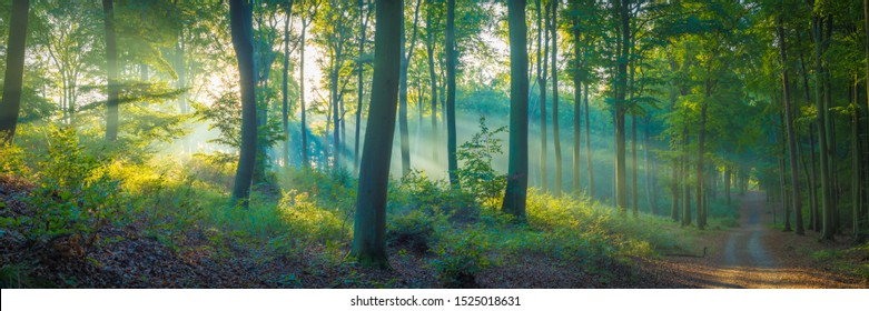 The sun is shining into a forest on morning with soft fog - Panorama