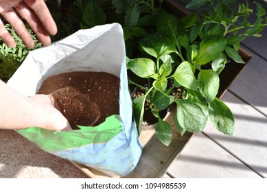 Sun shining on green vegetable plant during spring. Self sufficient garden on patio, with hand grasping soil from bag.