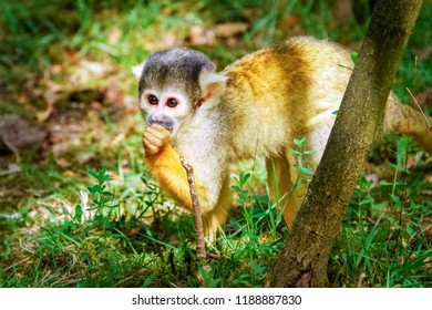 The sun is shining on a small cand urious common squirrel monkey. They live mainly in the tropical forests of Central and South America.