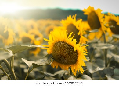 Sun shining on this sunflowers