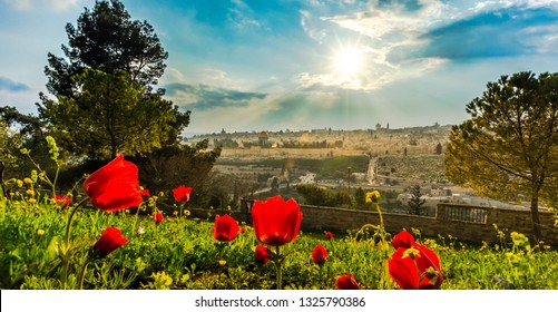 Sun shining over the Old City of Jerusalem: Temple Mount with Dome of the Rock and St. Stephen/Lions Gate; view from the Mount of Olives with calanit - red anemone flowers, national flower of Israel