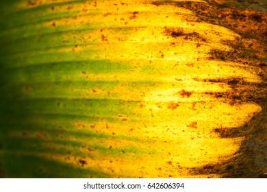 Sun is shining through a Banana leaf