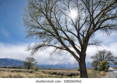 Sun shining through the branches of an old cottonwood tree near Bishop California in spring with the Sierra mountains in the background.
