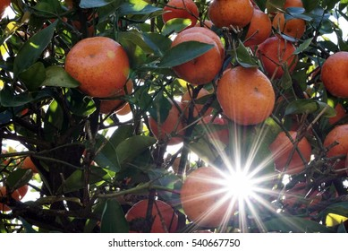 Sun shining through a clementine citrus tree in Florida