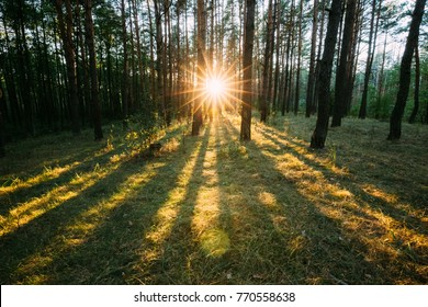 Sun Shining Through Forest Trees Woods. Sunset Sunrise In Summer Forest Landscape.