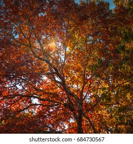 Sun shining through the leaves of a beautiful tree in full Autumn color