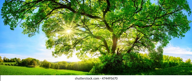 The sun shining through a majestic green oak tree on a meadow, with clear blue sky in the background, panorama format - Shutterstock ID 474495670