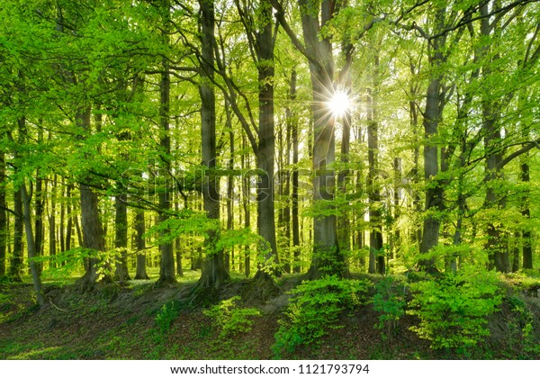 The Sun is shining through Natural Forest of Old Beech Trees in Spring