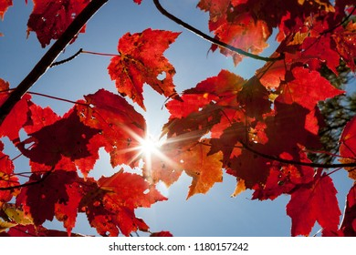 Sun Shining Through Red Fall Foliage