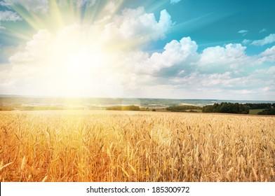 Sun shining through ripe wheat
