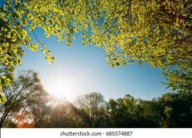 Sun Shining Under Spring Canopy Of Tree. Deciduous Forest, Summer Nature At Sunny Evening. Upper Branches Of Tree With Fresh Green Foliage. Looking Up Wild Woods