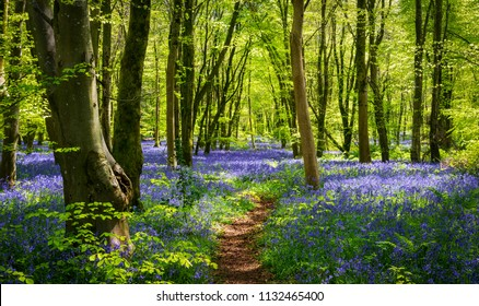 Sun streams through bluebell woods with deep blue purple flowers under a bright green beech canopy