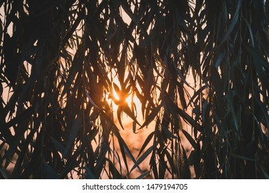 Sun at sunset peers through the leaves and branches of willow