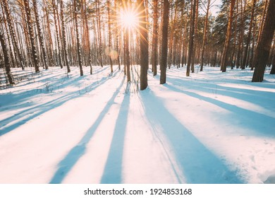 Sun Sunshine Sunlight Through Frosted Pine Trees Frozen Trunks Woods In Winter Snowy Coniferous Forest Landscape. Beautiful Woods In Forest Landscape. Long Shadows On White Snow.