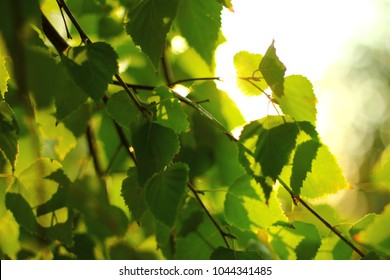 the Sun through the leaves of a birch spring summer