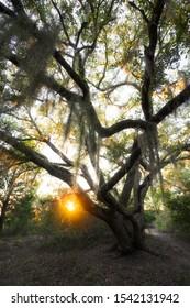 Sun through Oak Tree in South Carolina