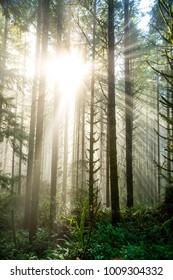 Sun Through Trees in Natural Oregon Landscape