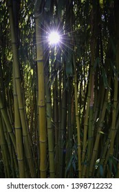 Sun twinkling through bamboo in summer