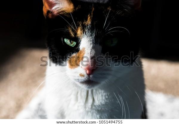 Sunbathing Calico Cat
