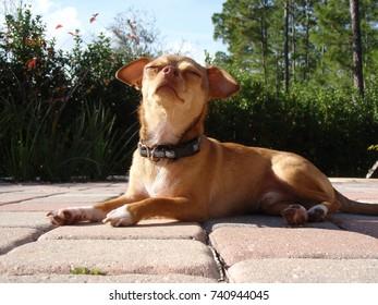 Sunbathing Chihuahua