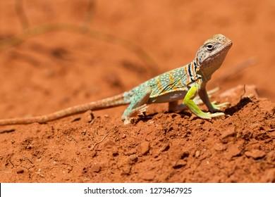 Sunbathing lizard in Palo Duro Canyon
