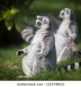 Sunbathing Madagascan Ring-tailed Lemurs